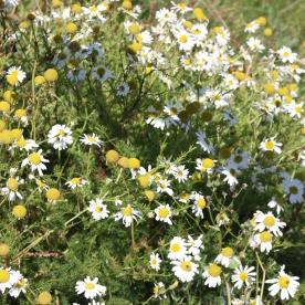 Scentless Mayweed (Tripleurospermum inodorum)