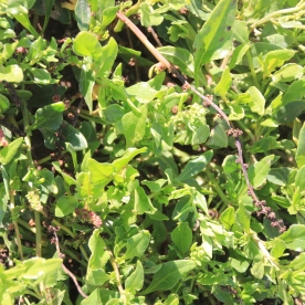 Sea Beet (Bea vulgaris ssp. maritima)