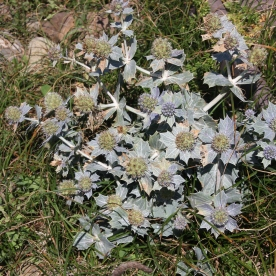 Sea Holly (Eryngium maritimum)