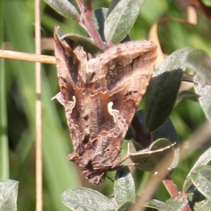 Silver Y Moth (Autographa gamma)
