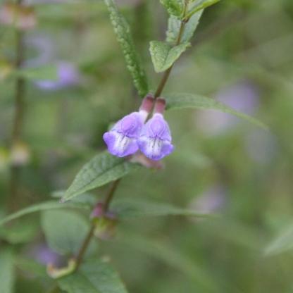 Skullcap (Scutellaria galericulata)