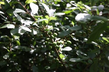 Blackthorn (Sloe) (Prunus spinosa) with berries