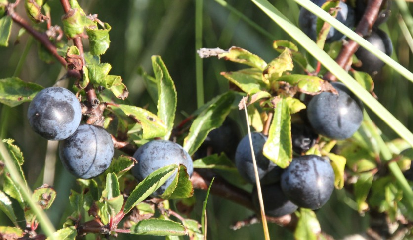 Blackthorn (Sloe berries) (Prunus spinosa)