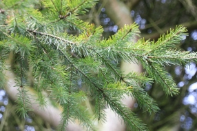 Spruce (Picea species)