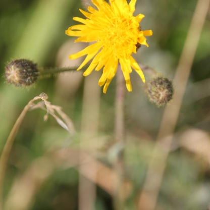 Smooth sow-thistle( Sonchus oleraceus)