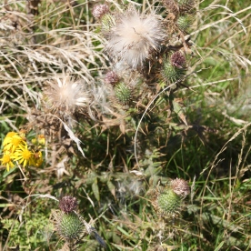 Creeping Thistles setting seed and flying away