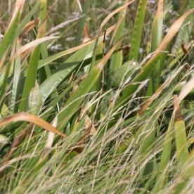Stinking Iris (Iris foetidissima) seedheads