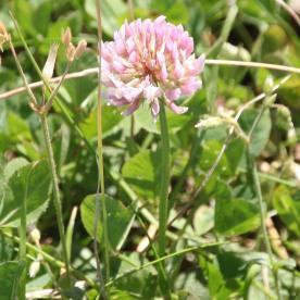Strawberry clover (Trifolium fragiferum)