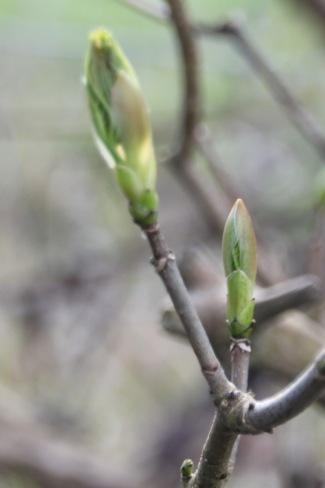 Sycamore buds (Acer pseudoplatanus)