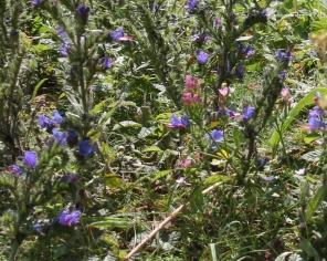 Viper's Bugloss and Common Centaury