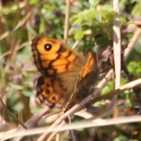 Wall Brown (Lasiommata megera)