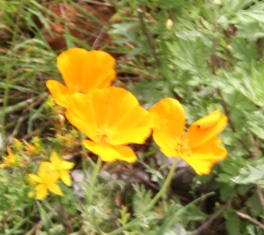 Welsh Poppies (Meconopsis cambrica)