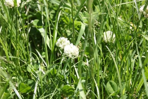 White Clover (Trifolium repens)
