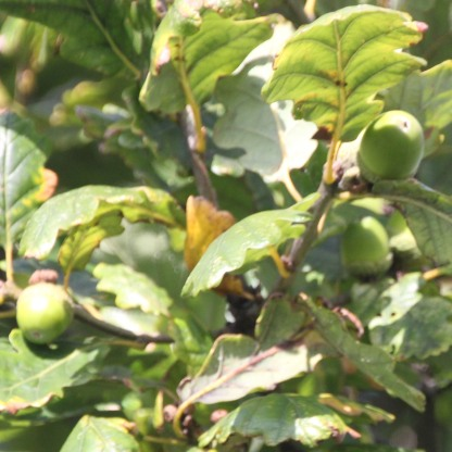 Oak acorns (Quercus rubra)