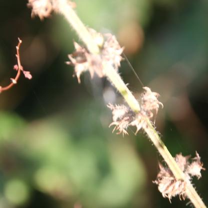 Agrimony seeds (Agrimonia eupatoria)