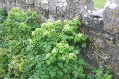 Alexanders by wall