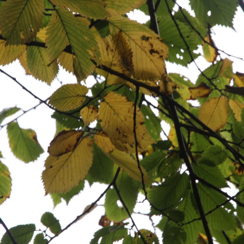 Autumn Beech leaves Fagus sylvatica