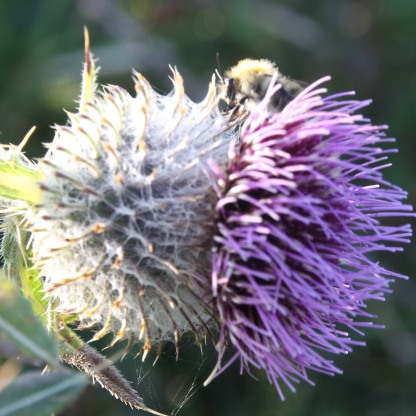 Spear Thistle with Bee