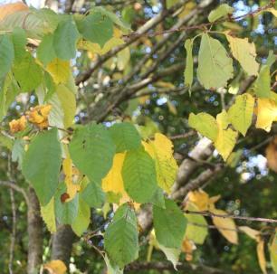 Beech (Fagus sylvatica)