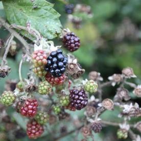 Blackberries(Rubus fructicosus)