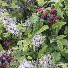 Blackberries and Wild Clematis