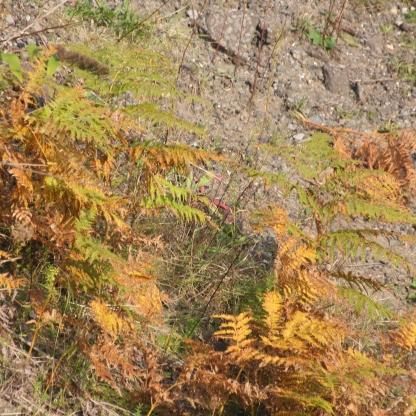 Bracken autumn colours