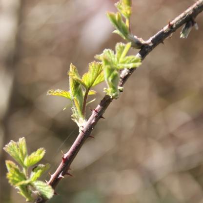Brambles buds (Rubus fructicosus)
