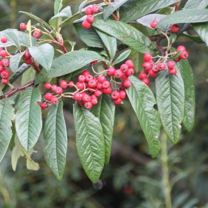 Broad-leaf Cotoneasters (Cotoneaster dammeri)