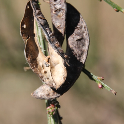 Broom seed pods (Cytisus scoparius)