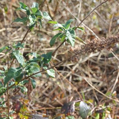 Butterfly Bush or Buddleia (Buddleia davidii)