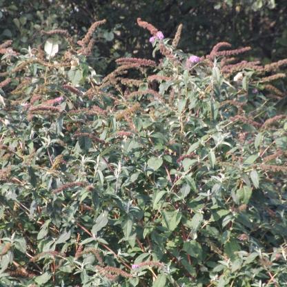 Butterfly Bush or Buddleia