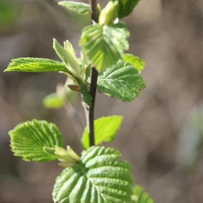Silver Birch leaves (Betula pendula)