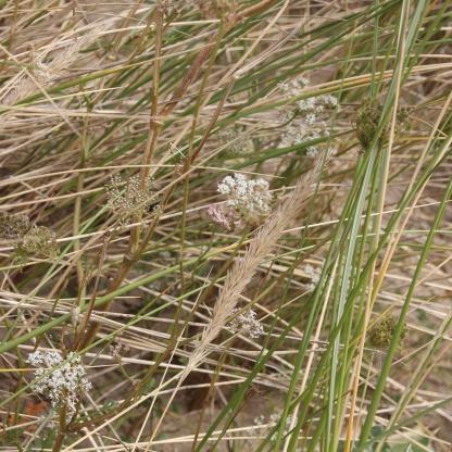 Burnet-saxifrage (Pimpinella saxifraga)