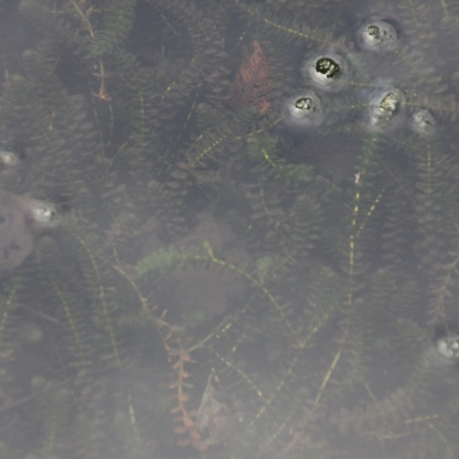 Canadian Pondweed (Elodea canadensis)