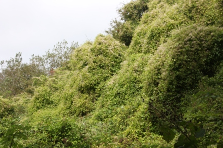 Cascades of clematis 1