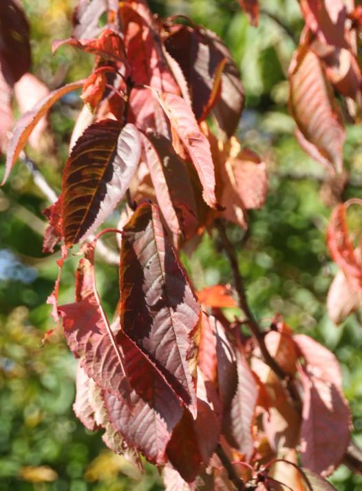 Cherry (Prunus avium)