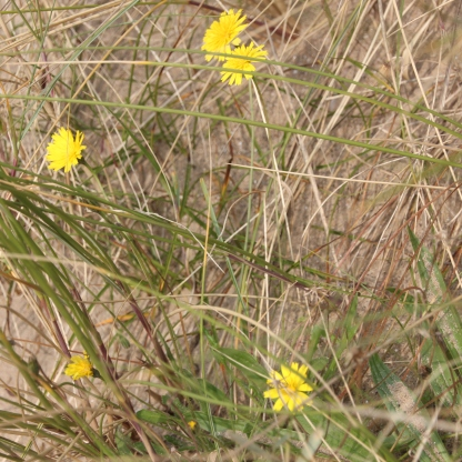 Common Hawkweed (Hieracium vulgatum)