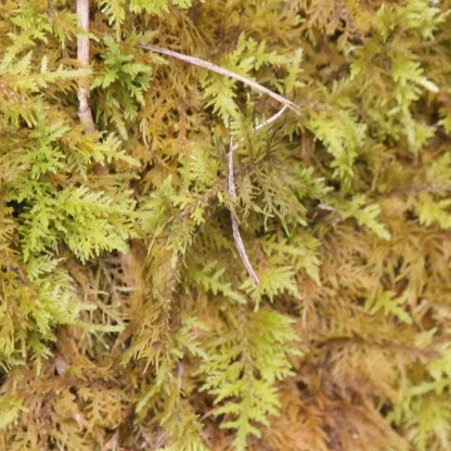 Common Tamarisk-moss (Thuidium tamariscinum)