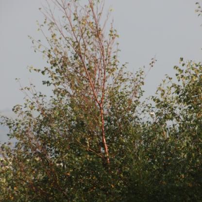 Copper Birch (Betula niger)