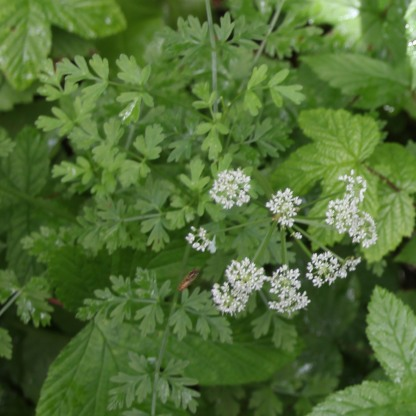 Cow Parsley (Anthricus sylvestris)