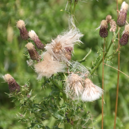 Creeping Thistle seed-heads (Cirsium arvensis)