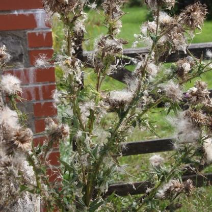 Creeping Thistle (Cirsium arvensis)