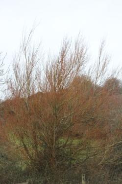 Dogwoods (Cornus species)