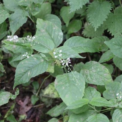 Enchanter's-nightshade (Circaea lutetiana)