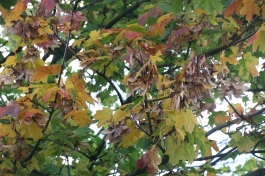 Field Maple with seeds (Acer campestre)