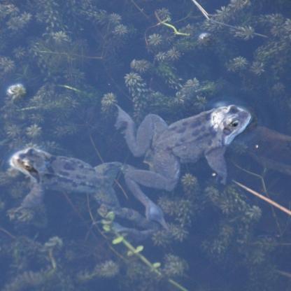 Frogs (Rana temporaria)