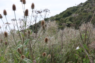 Giant Hogweed, Teasel, Great Willowherb and Bindweed