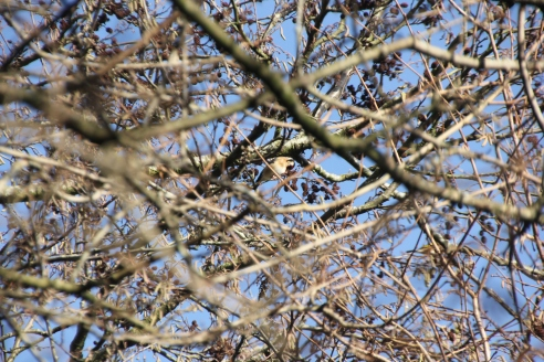 Goldfinch in trees