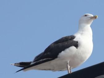 Great Black-backed Gull (Larus marinus) (Chroicoce-phalus ridibundus)
