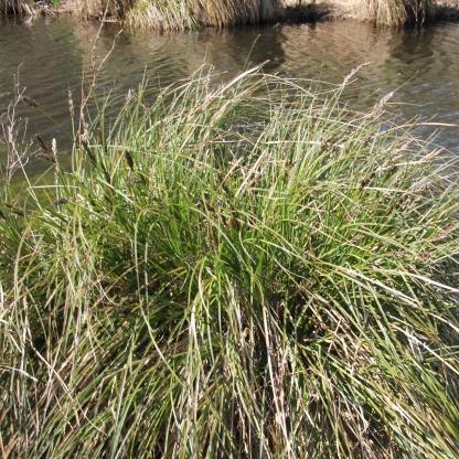 Greater Tussock Sedge (Carex paniculata)